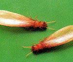 イエシロアリの羽アリ(有翅虫)